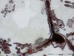Découverte de fossiles de micro-organismes de 4 milliards d'années au  Canada