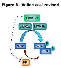 LIMK2-1 : une nouvelle cible thérapeutique atypique pour traiter les cancers, les maladies neurologiques et les neurofibromatoses