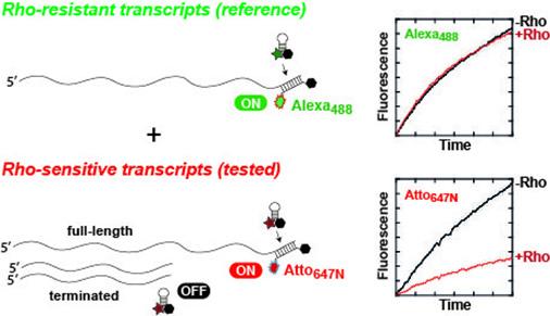 Une nouvelle méthode d'analyse de la terminaison de la transcription Rho-dépendante